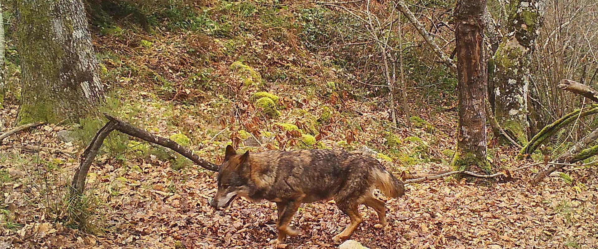 Wolves observations and sightings in the Cantabrian Mountains